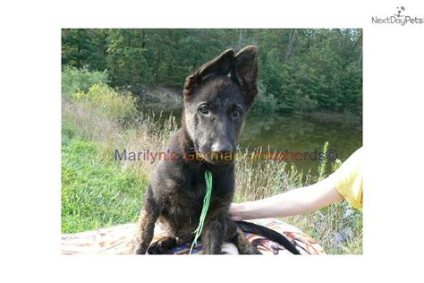 brindle german shepherd puppy waya s mr lime brindle b t puppy german shepherd puppy for sale near
