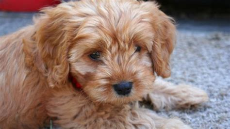 list of purebred dogs how to treat kidney disease in dogs breeds picture