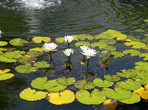 aquatic gardens water garden pond service pond plants