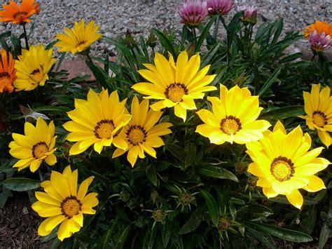 fiori simili alle margherite free photo gazania treasure flower blooms free image