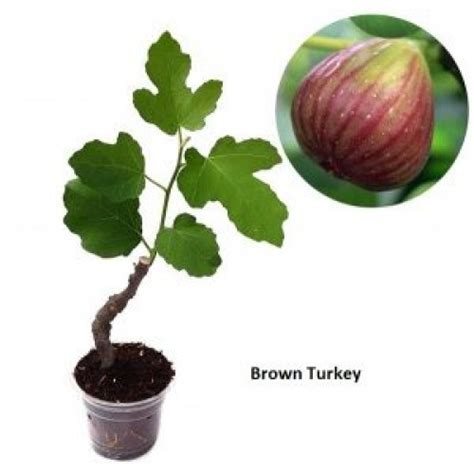Bibit Tin Brown Turky jual bibit pohon tin brown turkey