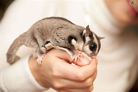 scoiattolo volante domestico how to create a lovely environment for sugar gliders