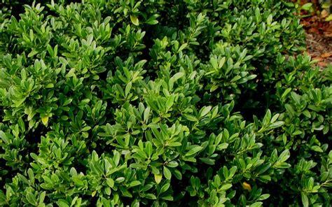 Maiden Fruit Trees - buy hoogendorn holly ilex crenata hoogendorn 3 gallon shrubs deer resistant