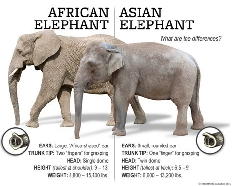 related keywords suggestions for elephant species
