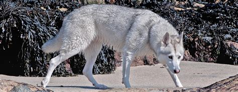 northern inuit puppies northern inuit the cross to resemble a wolf dogalize