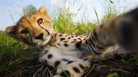 The Cheetah Children   About   Nature   PBS