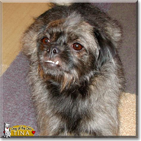 poodle and pug mix poodle mix grown buffalo pug small breed rescue inc adopted pets world