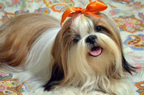 shih tzu for sale in bangalore how much are shih tzu dogs assistedlivingcares