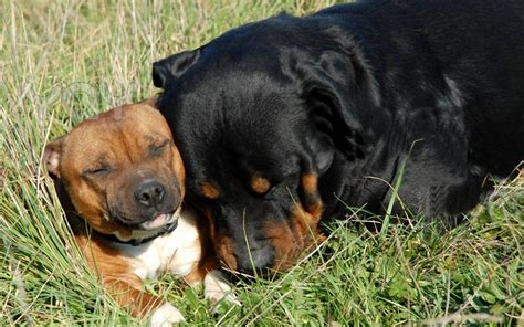 free rottweiler two rottweiler 1280x800 wallpapers rottweiler 1280x800 wallpapers