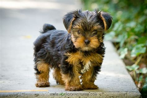 8 week yorkie puppies pictures 25 best ideas about yorkie puppies on teacup yorkie teacup terrier and