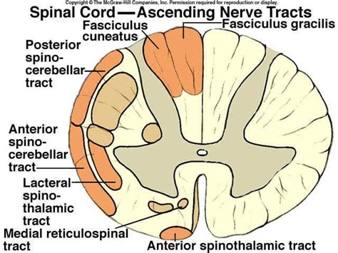 cross section of spinal cord tracts spinal cord ascending nerve tracts nursing pinterest