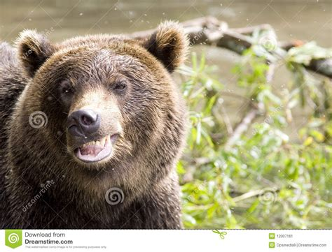 Bears Smile smile of a stock image image 12007161