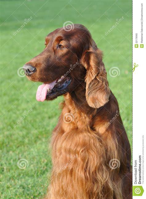 irish setter dog time irish setter dog portrait stock photo image 22179560