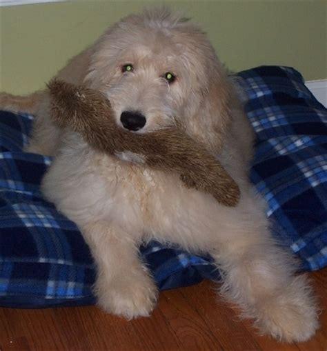 goldendoodle puppy for adoption in ohio goldendoodle and labradoodle puppies of yesteryear acres