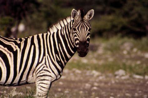 printable zebra facts plains zebra facts common zebras equus quagga