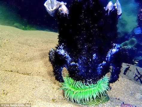 anemone eating bird giant sea anemone eats a baby seabird in incredible images