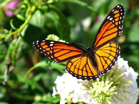 tigre y mariposa imagenes m 225 s informaci 243 n sobre la mariposa monarca informacion