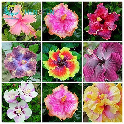 what color is hibiscus hibiscus achat vente de hibiscus pas cher