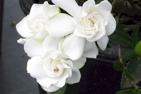 gardenia  crown jewel blooms     wood