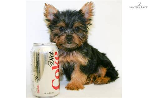 what age is a yorkie puppy grown terrier yorkie puppy for sale near columbus ohio a4c369e9 39f1