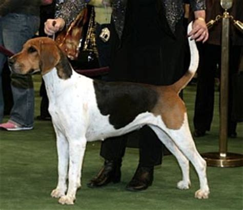 american foxhound puppies for sale foxhound puppies breeders foxhounds