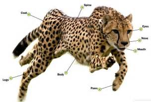 The cheetah in comparison to the human body by katie morton