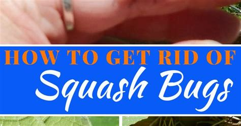 How To Get Rid Of Backyard Bugs by How To Get Rid Of Squash Bugs Squash Bugs Gardens And Garden Ideas
