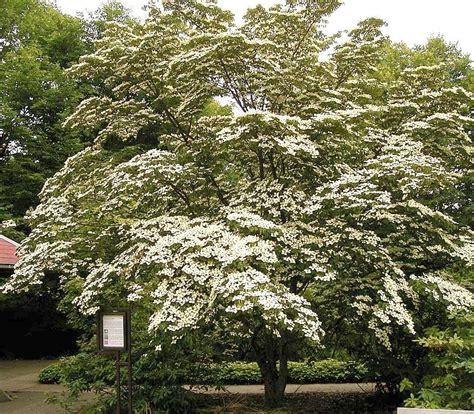 cornus kousa chinensis white dogwood tree blerick trees