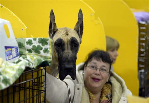benched dog show dogs take the stage at the 138th westminster kennel club