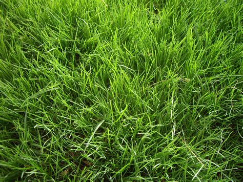 how to plant winter grass when do you overseed for a winter lawn winter grass