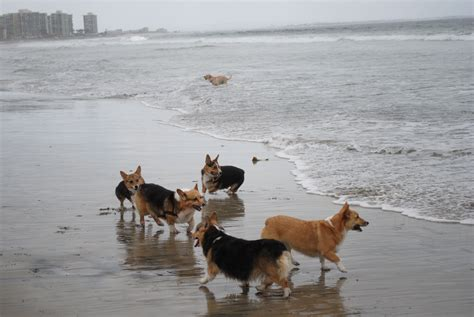 corgi puppies san diego photos the san diego corgi meetup san diego ca meetup