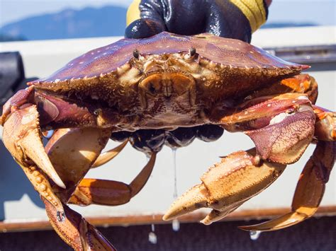 Whats In Season Dungeness Crabs dungeness crab season opens next week sfbay san