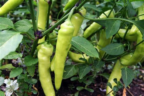 types of garden peppers growing banana peppers how to grow and care for