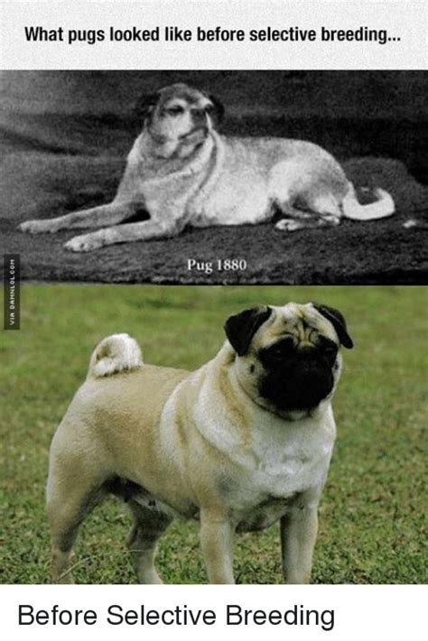 what pugs looked like before selective c 1880 rebrn what pugs looked like before selective ug 1880 before selective