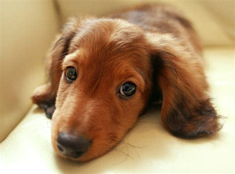 mini longhaired dachshund puppies dachshund miniature haired information
