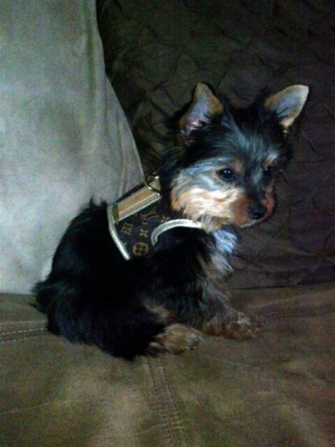 teacup yorkie harness louie in his new lv harness
