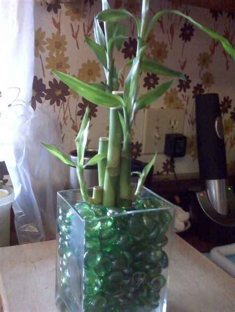 ideas  lucky bamboo  pinterest plants