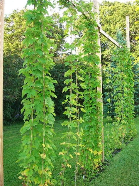 Growing Hops At Home Trellis hops trellis but just imagine how pretty this would look
