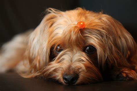 yorkie poo adults pictures yorkie poo brown www pixshark images galleries with a bite