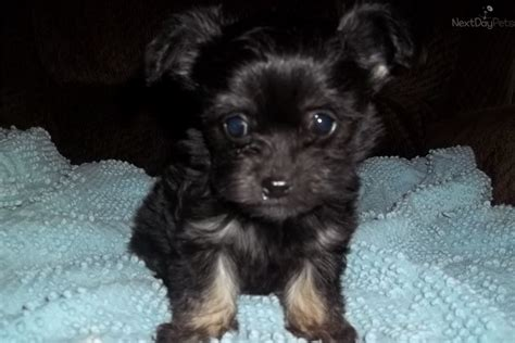 chipoo puppies chi poo chipoo puppy for sale near morgantown west virginia f75d0ca2 9281