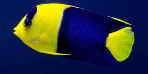 bicolor angelfish salt water fish