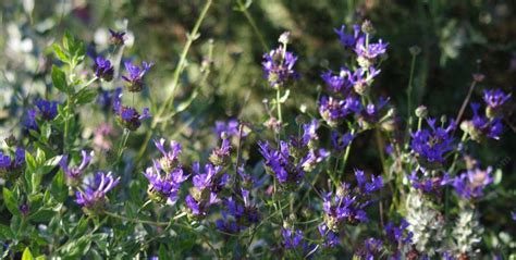 salvia clevelandii winifred gilman cleveland sage blue sage