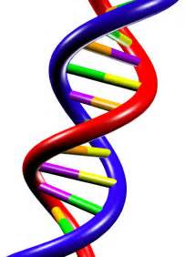 Basic units of genetic information cells chromosomes genes and