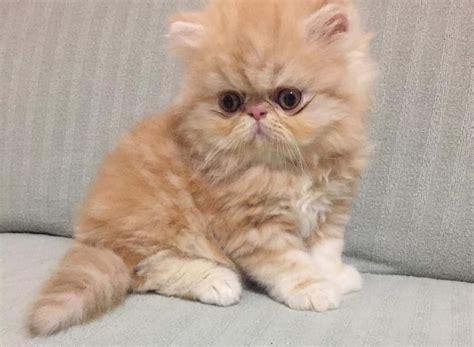 cuccioli gatti persiani in regalo gatti persiani home