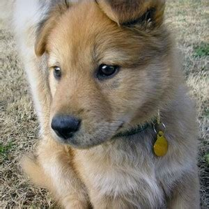 how much are chow chow puppies akita chow akita x chow mix info temperament puppies pictures