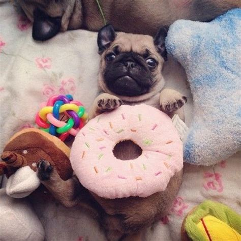 pug donut 27 best images about pugs on steven meisel donuts and costumes