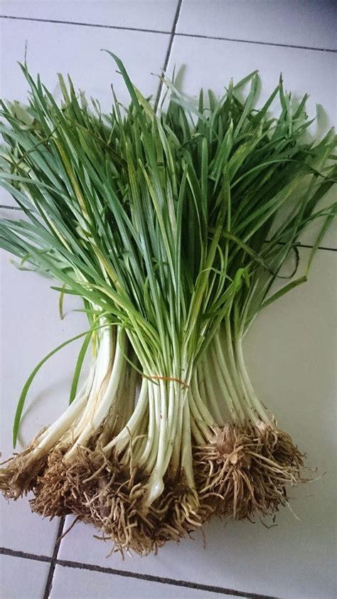 Jual Bibit Sayuran Daun Bawang 25 ide terbaik kebun sayuran di pertamanan