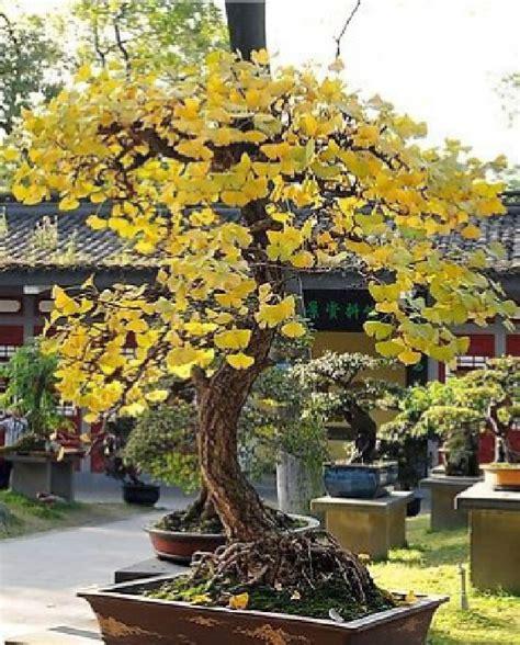 best ginkgo biloba brand buy wholesale ginkgo biloba plant from china ginkgo