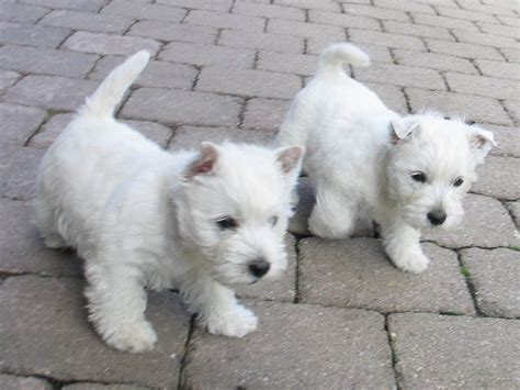 white terrier puppy search results for terrier femmina black hairstyle and haircuts