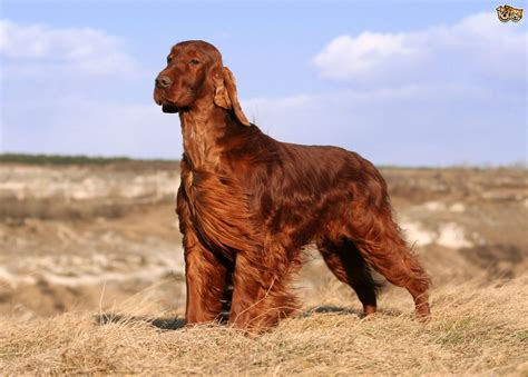 setter dogs pictures irish setter dog breed information buying advice photos